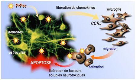microglies mecanisme inflammatoire