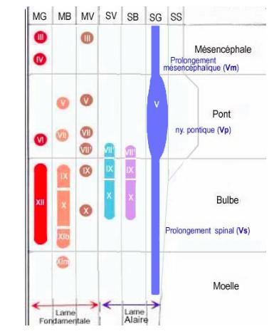 topographie-noyaux-spinal-trijumeau